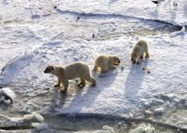 Синантропизация диких видов